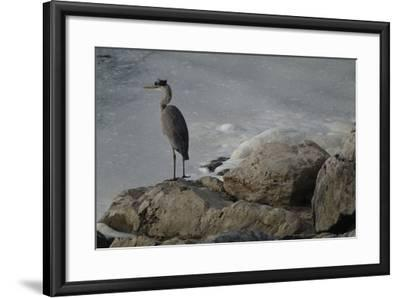 A Great Blue Heron, Ardea Herodias, on the Bank of the Potomac River-Tyrone Turner-Framed Photographic Print