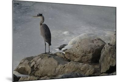 A Great Blue Heron, Ardea Herodias, on the Bank of the Potomac River-Tyrone Turner-Mounted Photographic Print