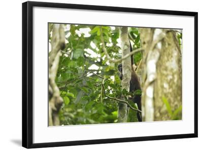 A Mantled Howler Monkey, Alouatta Palliata, on Barro Colorado Island-Jonathan Kingston-Framed Photographic Print