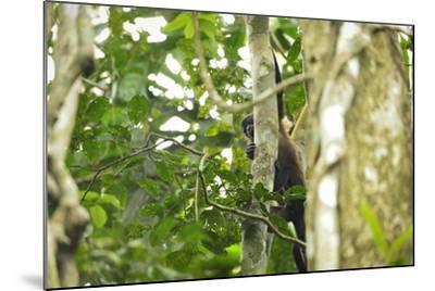 A Mantled Howler Monkey, Alouatta Palliata, on Barro Colorado Island-Jonathan Kingston-Mounted Photographic Print