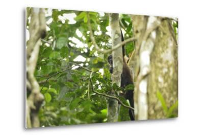A Mantled Howler Monkey, Alouatta Palliata, on Barro Colorado Island-Jonathan Kingston-Metal Print
