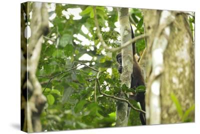 A Mantled Howler Monkey, Alouatta Palliata, on Barro Colorado Island-Jonathan Kingston-Stretched Canvas Print