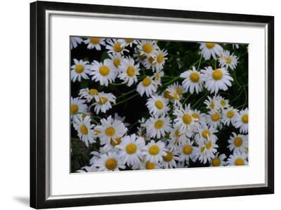 Close-Up of Daisies Blooming in Spring-Paul Damien-Framed Photographic Print