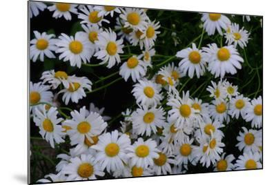 Close-Up of Daisies Blooming in Spring-Paul Damien-Mounted Photographic Print