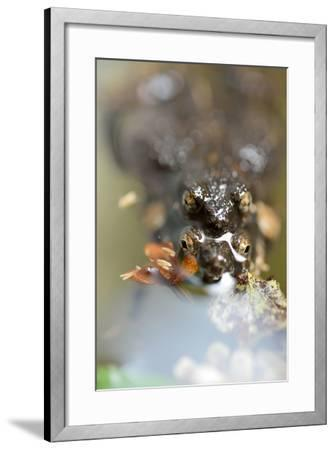 Mating Chiriqui Robber Frogs, Pristimantis Cruentus, on Barro Colorado Island, Panama-Jonathan Kingston-Framed Photographic Print