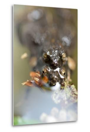 Mating Chiriqui Robber Frogs, Pristimantis Cruentus, on Barro Colorado Island, Panama-Jonathan Kingston-Metal Print