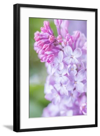 Spring Lilacs II-Romona Murdock-Framed Art Print
