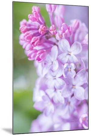 Spring Lilacs II-Romona Murdock-Mounted Art Print