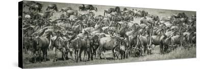 Wildebeests-Joani White-Stretched Canvas Print
