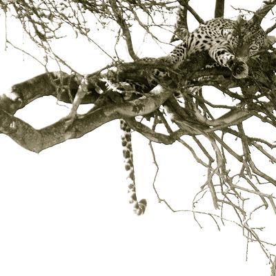 Resting Leopard-Joani White-Framed Premium Photographic Print
