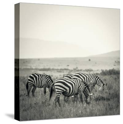Grazing Zebras-Joani White-Stretched Canvas Print