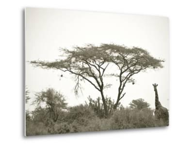 Standing Giraffe-Joani White-Metal Print