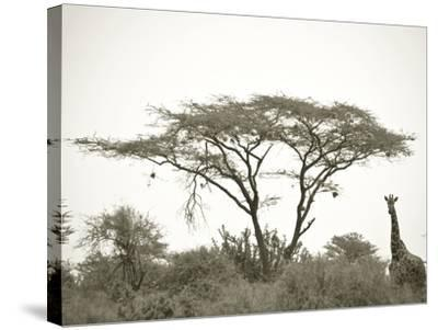 Standing Giraffe-Joani White-Stretched Canvas Print