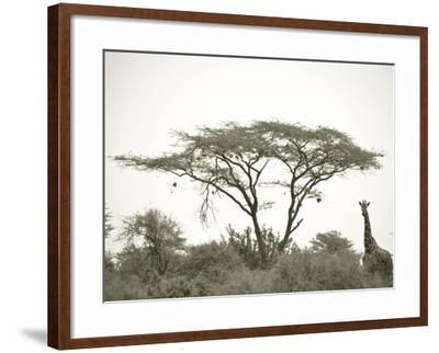 Standing Giraffe-Joani White-Framed Premium Photographic Print