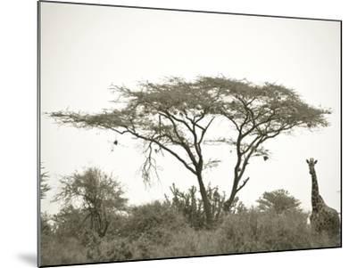 Standing Giraffe-Joani White-Mounted Premium Photographic Print