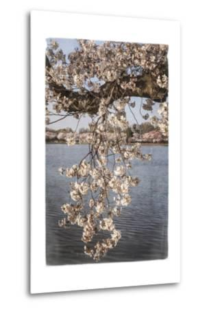 Cherry Blossoms 4-Lillis Werder-Metal Print