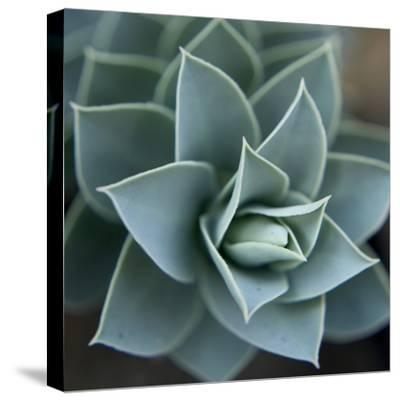 Star Plant 1-Karen Ussery-Stretched Canvas Print