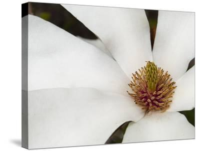 Magnolia Bloom-Karen Ussery-Stretched Canvas Print