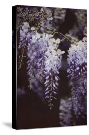 Wisteria Cascade I-Elizabeth Urquhart-Stretched Canvas Print