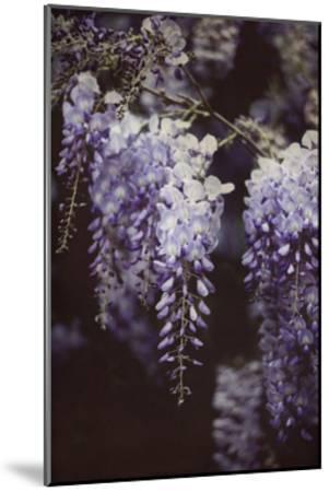 Wisteria Cascade I-Elizabeth Urquhart-Mounted Art Print