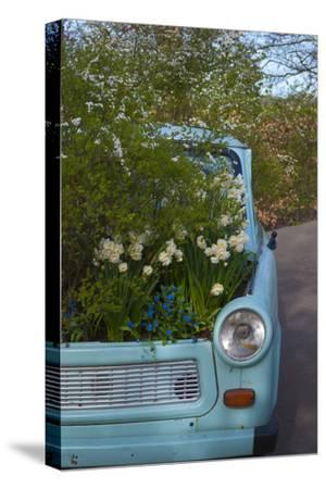 Potted Daffodils in Antique Turquoise Car-Anna Miller-Stretched Canvas Print