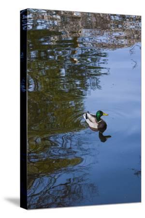 Mallard Duck-Anna Miller-Stretched Canvas Print