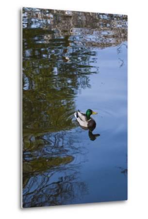 Mallard Duck-Anna Miller-Metal Print