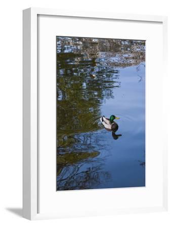 Mallard Duck-Anna Miller-Framed Photographic Print