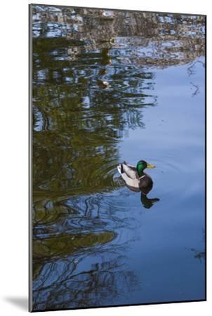 Mallard Duck-Anna Miller-Mounted Photographic Print