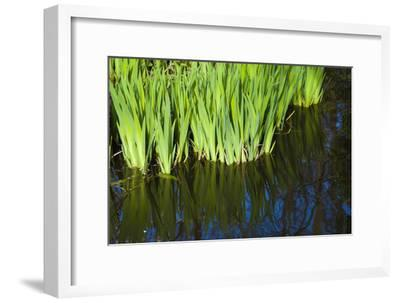 Iris Leaves in Shallow Pond Water-Anna Miller-Framed Photographic Print