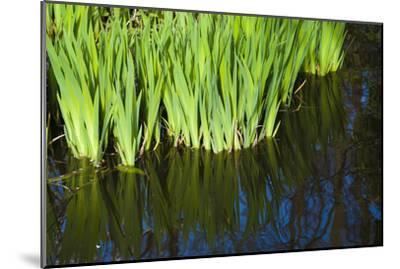 Iris Leaves in Shallow Pond Water-Anna Miller-Mounted Photographic Print