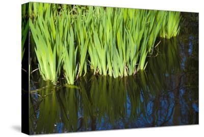 Iris Leaves in Shallow Pond Water-Anna Miller-Stretched Canvas Print