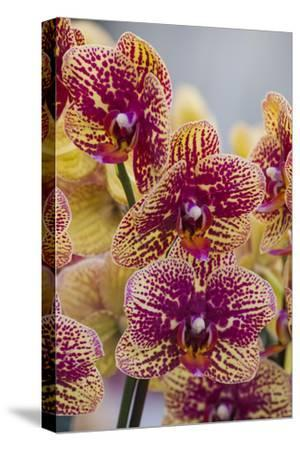 Peach Orchid Blooms-Anna Miller-Stretched Canvas Print