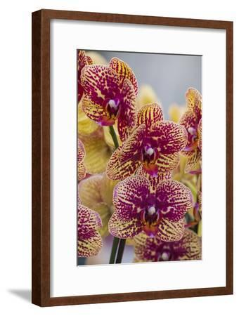 Peach Orchid Blooms-Anna Miller-Framed Photographic Print
