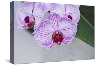 Pink Orchid Blooms-Anna Miller-Stretched Canvas Print