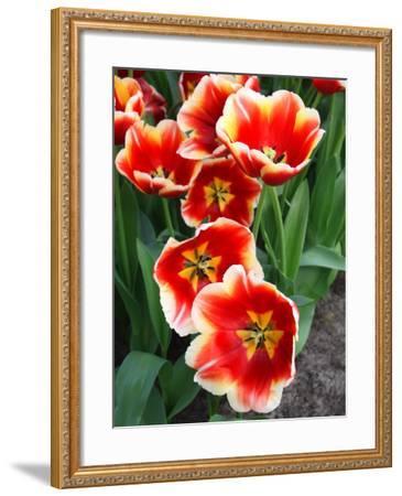 White Rimmed Red Tulips-Anna Miller-Framed Photographic Print