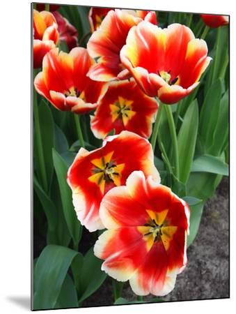 White Rimmed Red Tulips-Anna Miller-Mounted Photographic Print