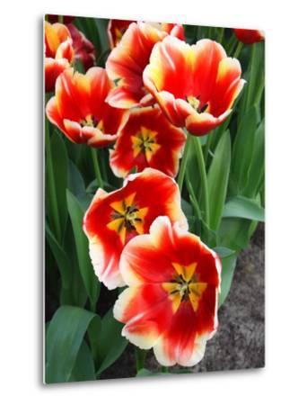 White Rimmed Red Tulips-Anna Miller-Metal Print