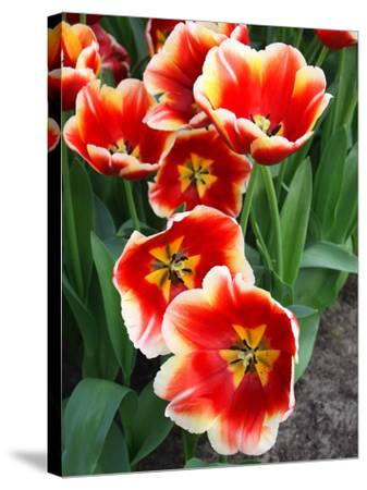White Rimmed Red Tulips-Anna Miller-Stretched Canvas Print