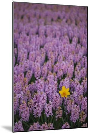 Hyacinth Flower Fields in Famous Lisse, Holland-Anna Miller-Mounted Photographic Print