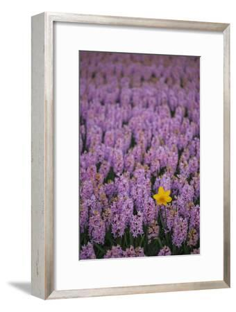 Hyacinth Flower Fields in Famous Lisse, Holland-Anna Miller-Framed Photographic Print