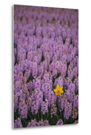Hyacinth Flower Fields in Famous Lisse, Holland-Anna Miller-Metal Print