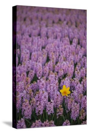 Hyacinth Flower Fields in Famous Lisse, Holland-Anna Miller-Stretched Canvas Print
