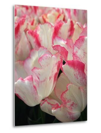 Pink Edged White Tulips-Anna Miller-Metal Print