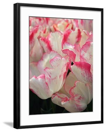 Pink Edged White Tulips-Anna Miller-Framed Photographic Print
