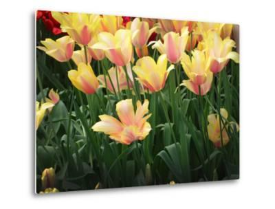 Blooming Peach and Yellow Colored Tulips-Anna Miller-Metal Print