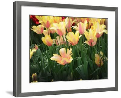 Blooming Peach and Yellow Colored Tulips-Anna Miller-Framed Photographic Print