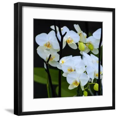 White Orchid Blooms-Anna Miller-Framed Photographic Print