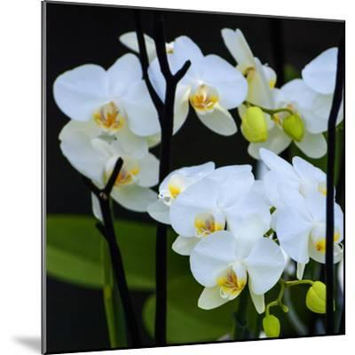 White Orchid Blooms-Anna Miller-Mounted Photographic Print