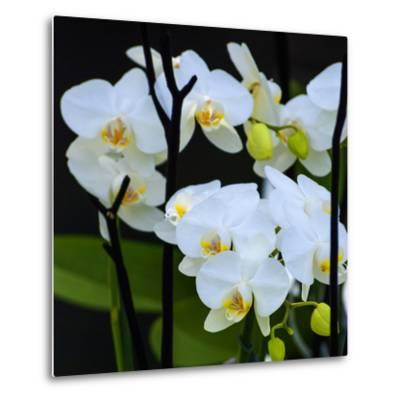 White Orchid Blooms-Anna Miller-Metal Print